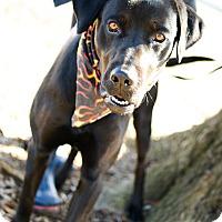 Labrador Retriever Mix Dog for adoption in Muldrow, Oklahoma - Trevor