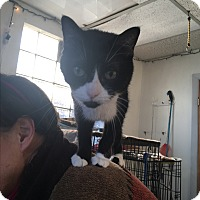 Domestic Shorthair Cat for adoption in Cleveland, Ohio - Kiki