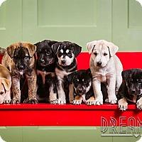 Adopt A Pet :: Puppies!! - Owensboro, KY