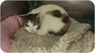 Calico Kitten for adoption in Staten Island, New York - Clementine