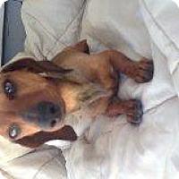 Adopt A Pet :: Copper - Atascadero, CA