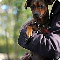 Adopt A Pet :: Molly - Tinton Falls, NJ