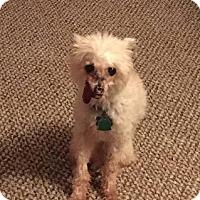 Adopt A Pet :: Brownie - Gilford, NH