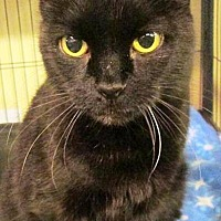 Domestic Shorthair Cat for adoption in Williamston, Michigan - Mystery