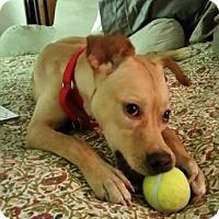 Adopt A Pet :: Bambii - Mahopac, NY