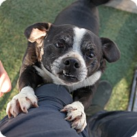Rat Terrier Mix Dog for adoption in San Pablo, California - CLYDE