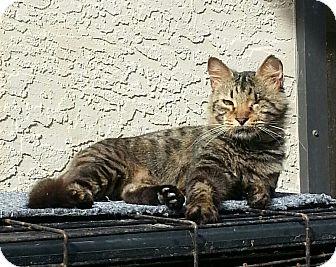 Domestic Mediumhair Cat for adoption in Fort Pierce, Florida - Ramona