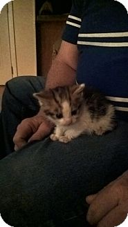 Domestic Shorthair Kitten for adoption in millville, New Jersey - maggie