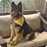 German Shepherd Dog Dog for adoption in Burbank, California - ADOPTION PENDING-Lexi