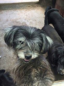 Terrier (Unknown Type, Small) Mix Dog for adoption in Oakton, Virginia - Misty