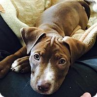 Adopt A Pet :: Jax - Greenville, SC