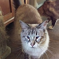 Siamese Cat for adoption in Chino Hills, California - Clara