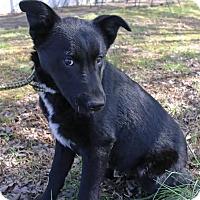 Adopt A Pet :: Shiloh - Allentown, PA