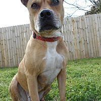 Pit Bull Terrier Mix Dog for adoption in Huntsville, Alabama - Summer