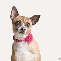Chihuahua Mix Dog for adoption in Chandler, Arizona - Cricket