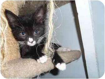 Domestic Shorthair Kitten for adoption in North Syracuse, New York - Widget
