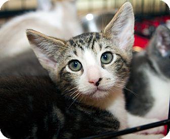 Domestic Shorthair Kitten for adoption in Irvine, California - Jinx