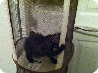 Domestic Shorthair Kitten for adoption in Pittstown, New Jersey - Lexi