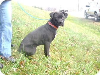 Labrador Retriever Mix Dog for adoption in Zanesville, Ohio - # 444-12 ADOPTED!