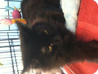 Domestic Longhair Cat for adoption in West Dundee, Illinois - Minnie