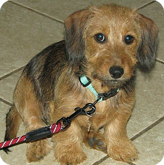 Dachshund Puppy for adoption in Somers, Connecticut - Heidi - ADOPTION PENDING