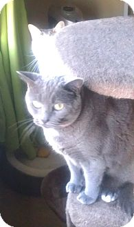 Domestic Shorthair Cat for adoption in Columbia, Maryland - COURTESY POST Bella and Bo