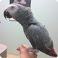 Adopt A Pet :: Flip - St. Louis, MO