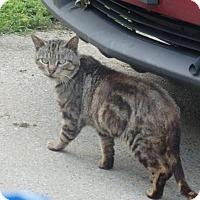 Adopt A Pet :: Bobtail - Nolensville, TN