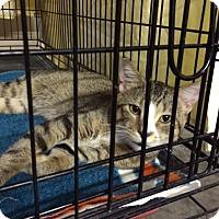 Adopt A Pet :: Tiger - Byron Center, MI