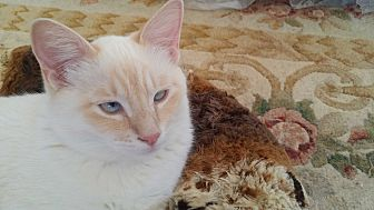 Siamese Cat for adoption in San Fernando Valley, California - Han Solo