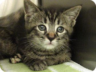 Domestic Shorthair Kitten for adoption in Windsor, Virginia - Nala