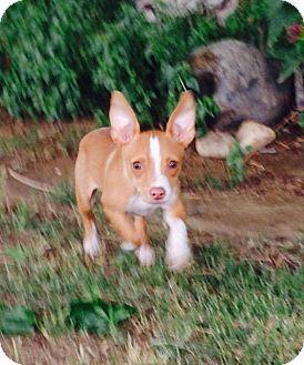 Chihuahua/Italian Greyhound Mix Dog for adoption in Bakersfield, California - Ricky