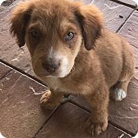 Adopt A Pet :: Brawny - Tucson, AZ