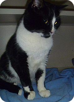 Domestic Shorthair Cat for adoption in Hamburg, New York - Boris