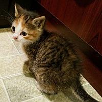 Adopt A Pet :: GOLDIE - Whitestone, NY