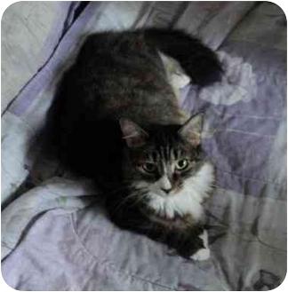 Domestic Mediumhair Cat for adoption in Montreal, Quebec - Jamie