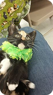 Calico Kitten for adoption in Sterling Hgts, Michigan - Infinity