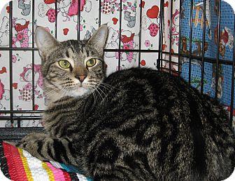 Domestic Shorthair Cat for adoption in Houston, Texas - Skamp