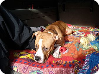American Bulldog Mix Dog for adoption in Waldorf, Maryland - Shelley