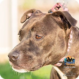 Pit Bull Terrier Mix Dog for adoption in Evansville, Indiana - Bella