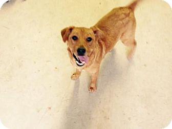 Retriever (Unknown Type)/Border Collie Mix Puppy for adoption in Smithfield, North Carolina - Annie