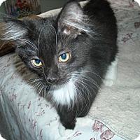 Adopt A Pet :: Turbo - Velcro Kitten - Arlington, VA