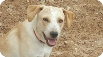 Australian Shepherd/Boxer Mix Dog for adoption in Las Cruces, New Mexico - Karl