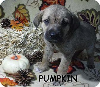 Labrador Retriever/Terrier (Unknown Type, Small) Mix Puppy for adoption in Batesville, Arkansas - Pumpkin