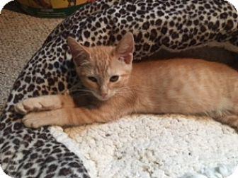 Domestic Shorthair Kitten for adoption in El Dorado Hills, California - Cornbread