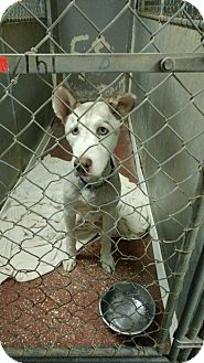 Husky Mix Dog for adoption in Wantagh, New York - Sarge