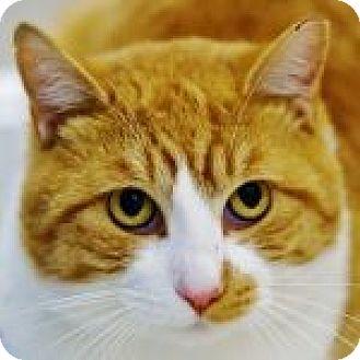 Domestic Shorthair Cat for adoption in Medford, Massachusetts - Trumley