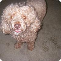 Adopt A Pet :: Benji - Buchanan Dam, TX
