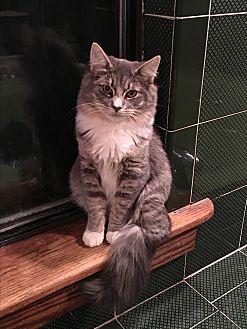 Maine Coon Kitten for adoption in Bedford Hills, New York - Hattori