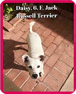 Jack Russell Terrier Mix Dog for adoption in Tucson, Arizona - Daisy